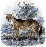 Фолклендська лисиця, або антарктичний вовк
