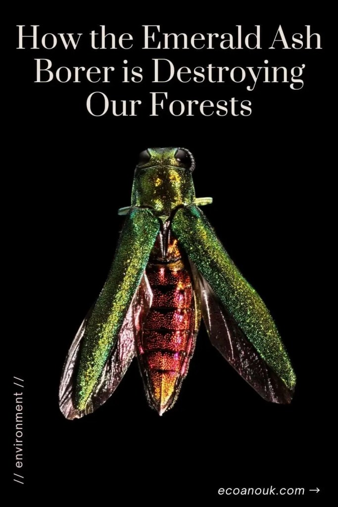 How the Emerald Ash Borer is destroying our forests. This image shows a close-up of the insect