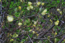 The pale, soft yellow of willow spring bursts