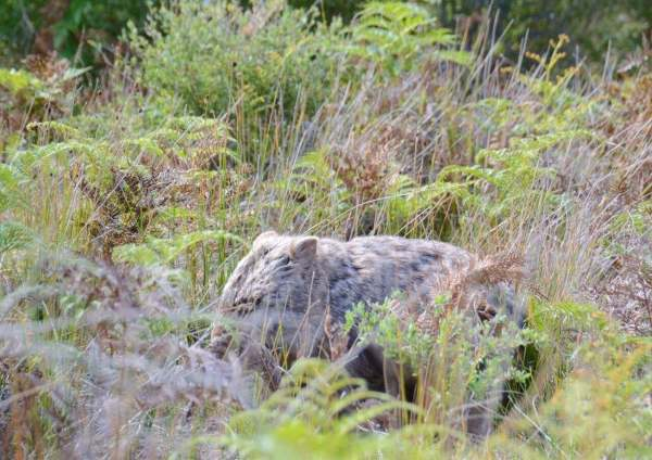 A wombat in Wilsons Prom