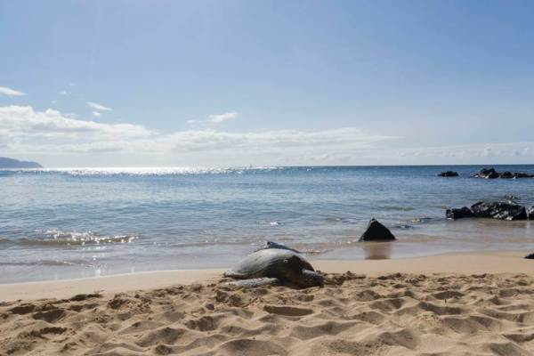 A Green Sea Turtle basking at Laniakea Beach