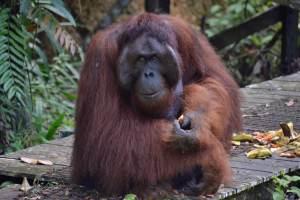 The Semenggoh Wildlife Center