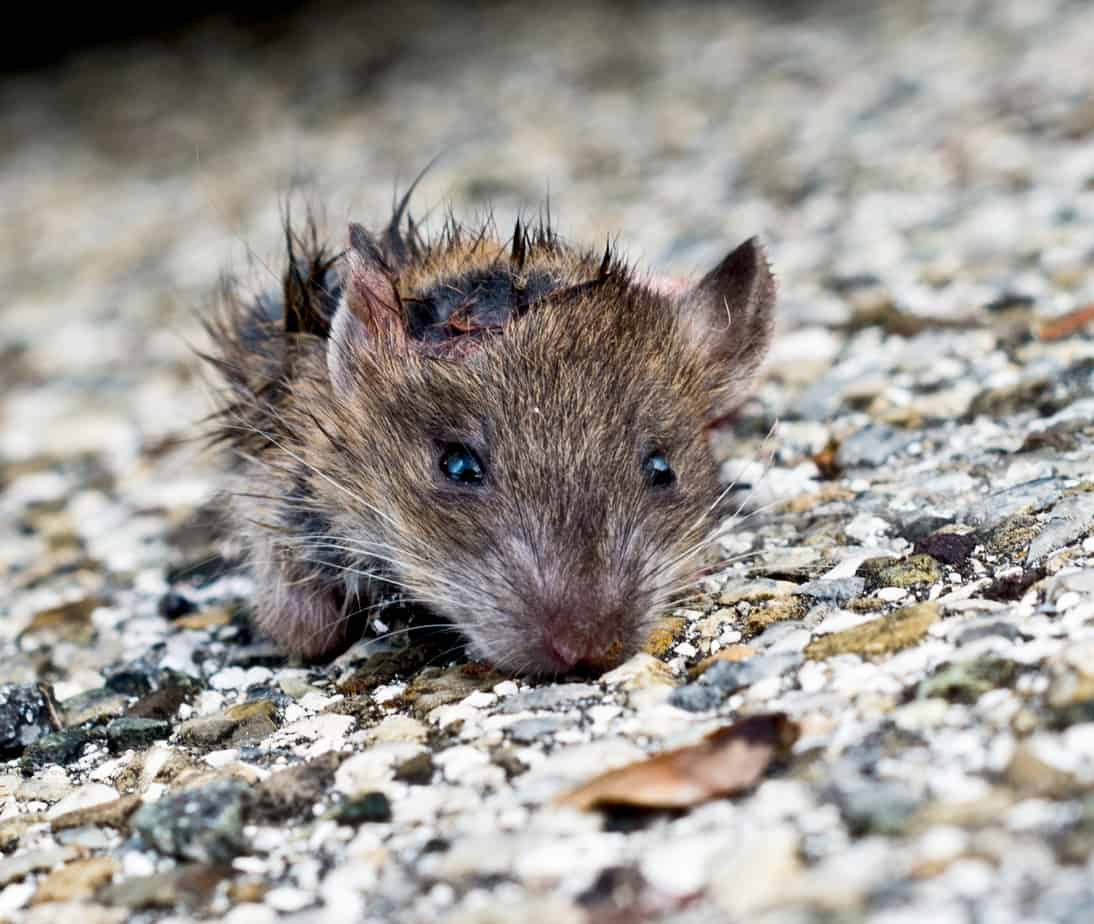 What Diseases Do Mice Carry? | Eco Bear Biohazard Cleaning Co.