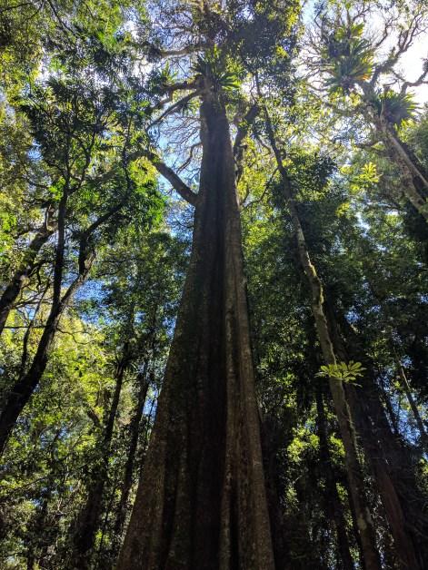 Dorrigo National Park tree