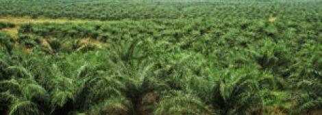 palm tree plantations retallada sense miraments