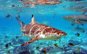 Sharks Desktop Wallpapers 1