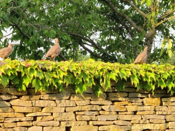 Partridges on the Cotswold stone wall