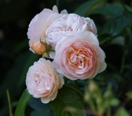 Our gardens are full of traditional perfumed rose varieties