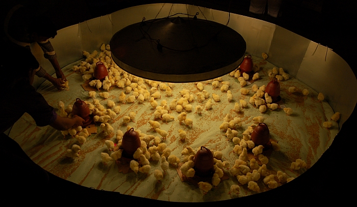 Management of chicks in the brooder from 08 weeks