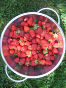 organic strawberries from my garden