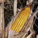 Food Issues: Corn vs. Sugar Smackdown