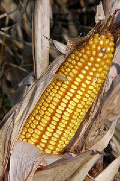 Food Issues: Corn vs. Sugar Smackdown