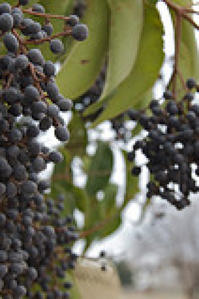 Natural Cold and Flu Remedies:  Elderberry Syrup Recipe