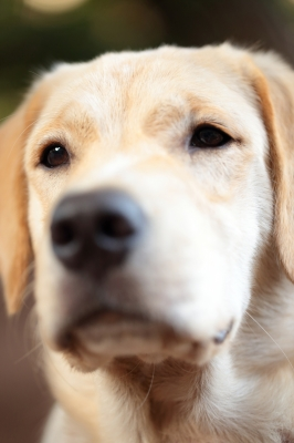 Questions to Ask an AKC Golden Retriever Breeder