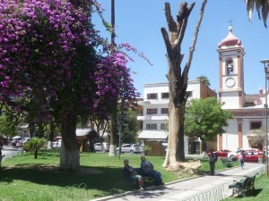 In the main plaza of Cochabamba a purple-pink bougainvillea vine growing up a trees has survived while its support tree has died decades ago, the vine turning into a free standing tree 200 years old.