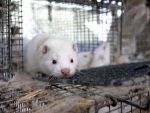 До 2025 року в Норвегії не залишиться хутряних ферм