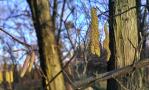 Зимове цвітіння ліщини залишить білок без горіхів
