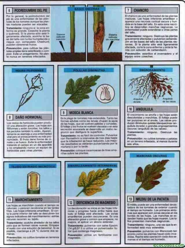 PROBLEMAS TOMATE 2 766x1024 Cultivo de tomate (Ficha)
