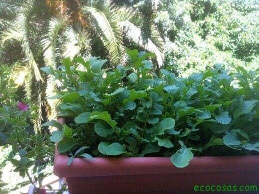 ecocosasIMG 0536 Como cultivar con macetas y no morir en el intento (Segunda parte)