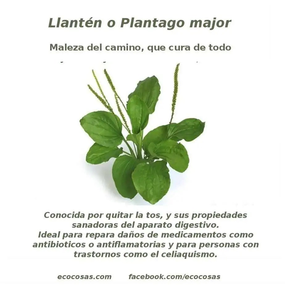 Llantén (Plantago major) buenaza