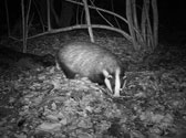 badger-trailcam