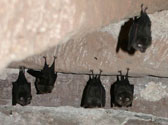 bat-survey-ireland