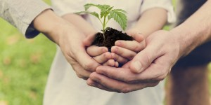 Hands holding a hemp seedling