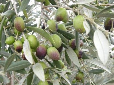 Envero en olivas morrudas