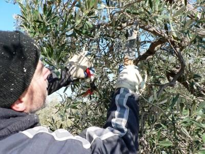 Podando ramitas que ya han dado fruto