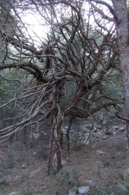 El pino de las Tres Piernas