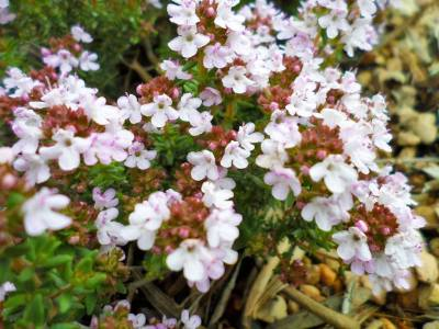 flores del tomillo