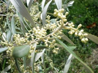 muestra del olivo