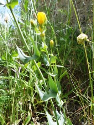 centaurea amarilla