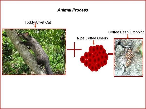 Toddy Cat Coffee Bean Process - EcoFriendly Coffee