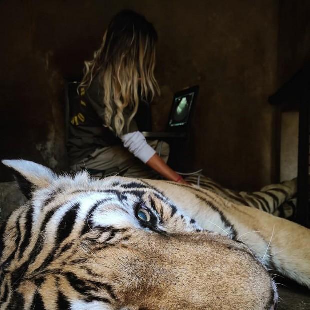 Ecografia a un tigre siberiano
