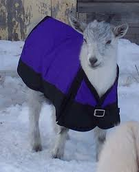 goats in coats