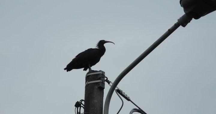 Circolo Ambiente Ilaria Alpi/ Tornano gli ibis eremita in Brianza