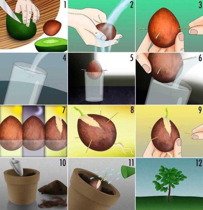 aguacate: ¿cómo plantar su hueso?