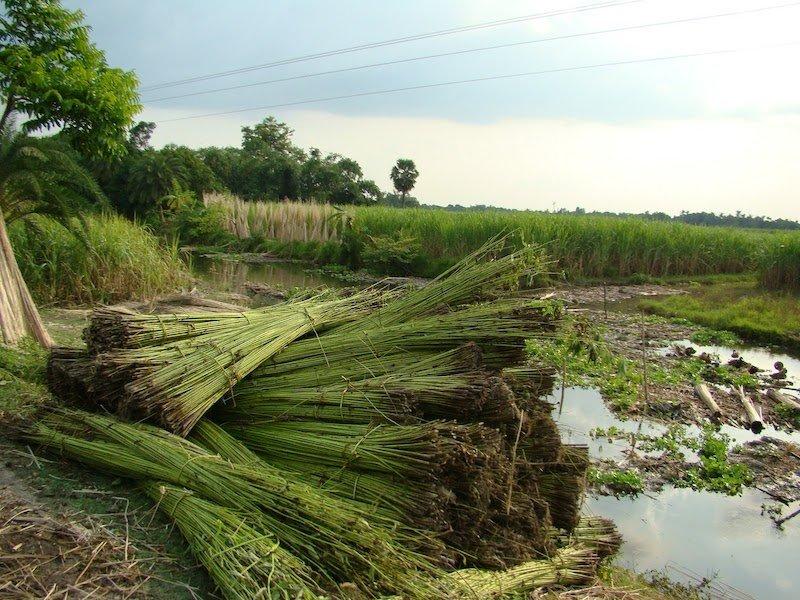 plantación kenaf
