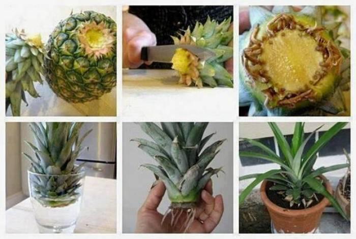 Como plantar una piña natural, una nueva vida