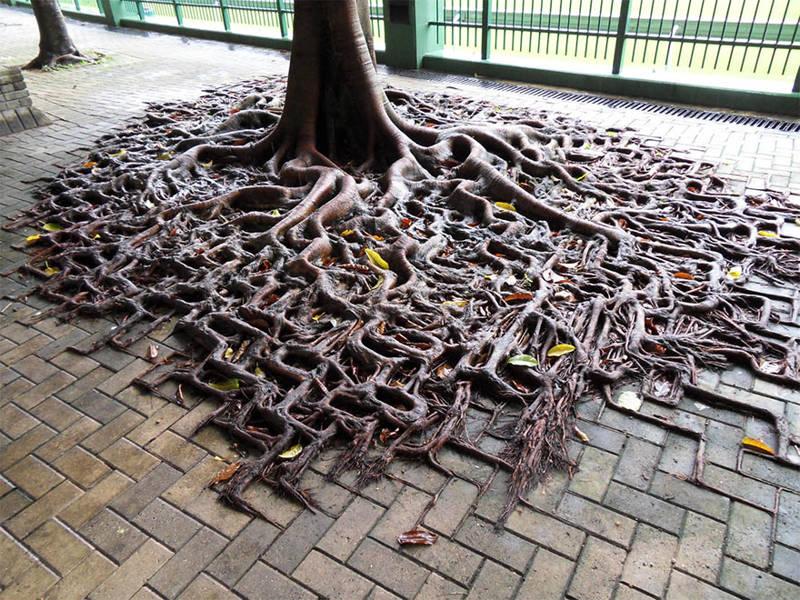 Raíces del árbol comiéndose de los ladrillos en la acera