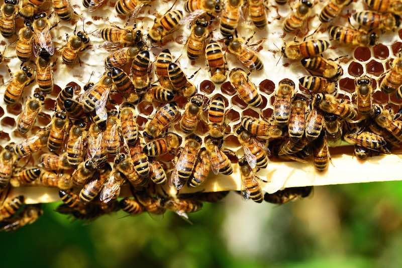 Colonia de abejas