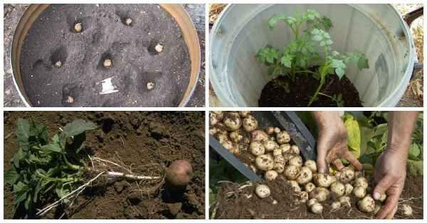 Como-cultivar-45-kg-de-patatas-en-un-barril