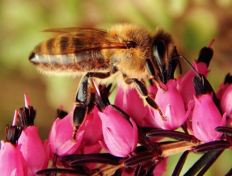 Einstein ya lo predijo: Si las abejas desaparecieran, sólo nos quedarían 4 años