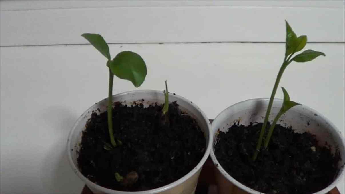 Como germinar una semilla de limón 1