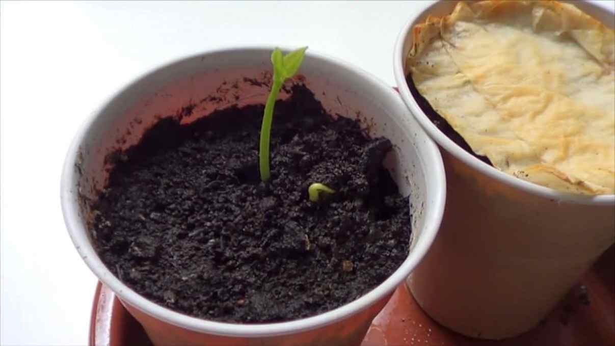 Como germinar una semilla de limón
