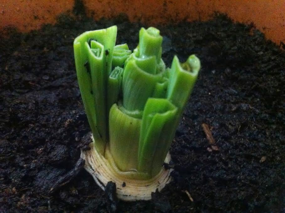 19 vegetales y hierbas que solo tendrás que comprar una vez