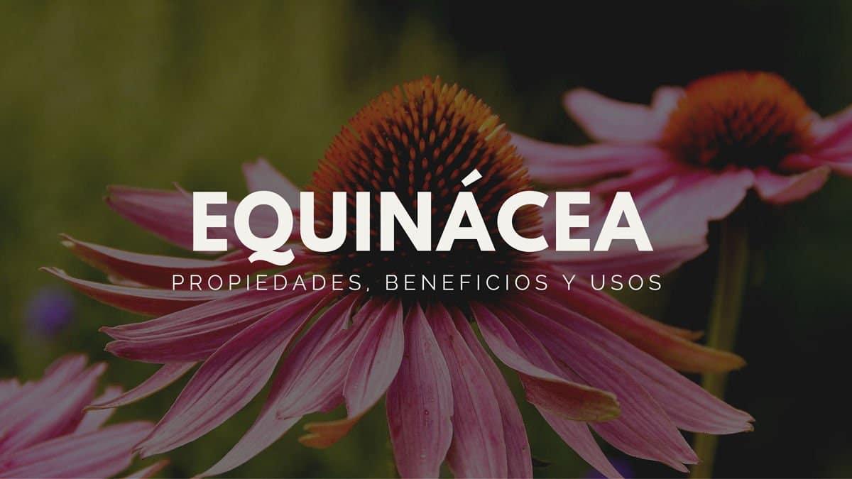 Propiedades, beneficios y usos de la equinácea
