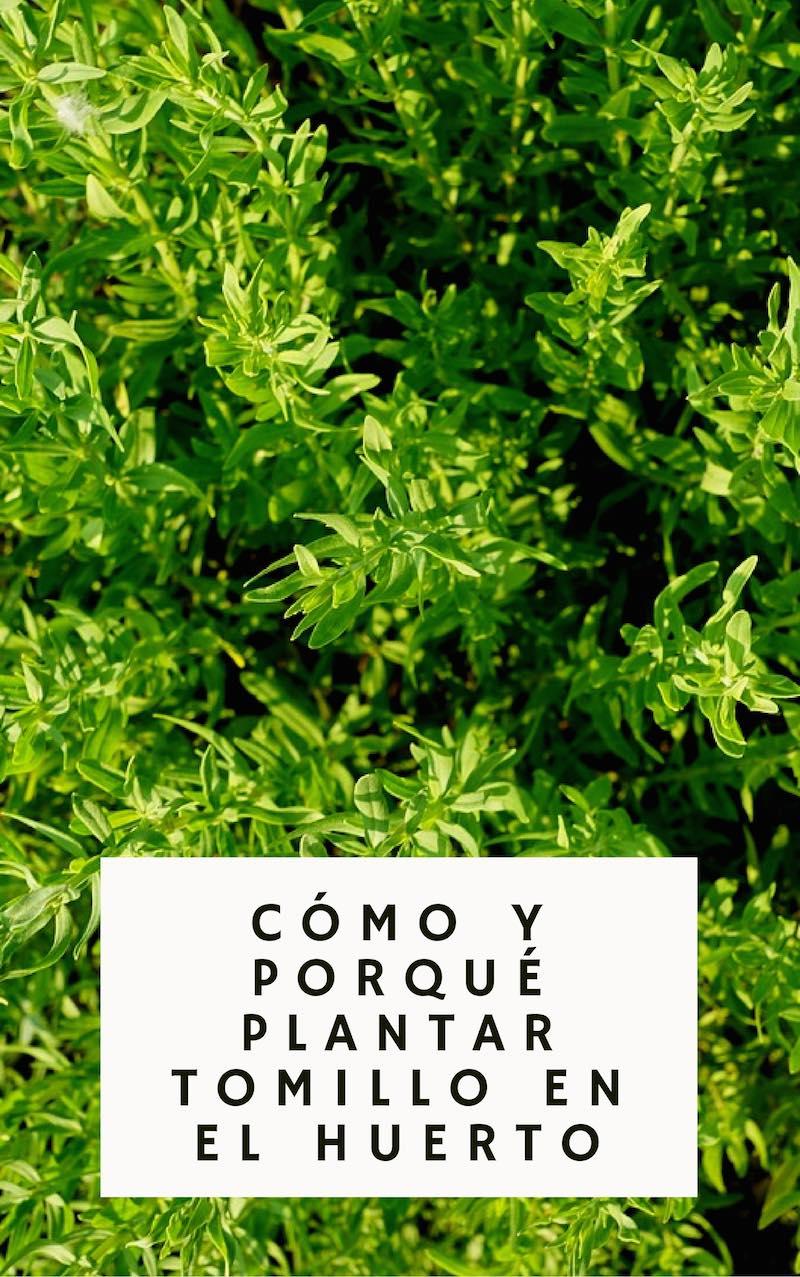 Cómo y porqué plantar tomillo en el huerto