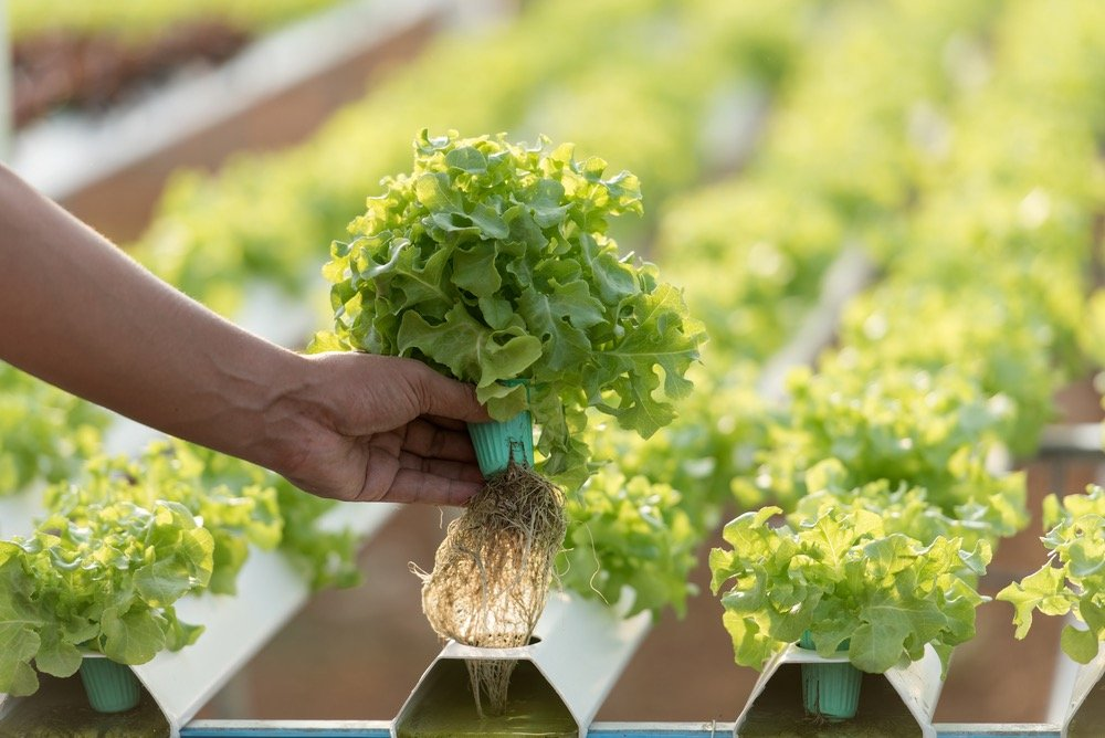 Las 5W del cultivo hidropónico